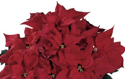 Red Elf Image