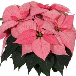 Christmas Glory Pink Image