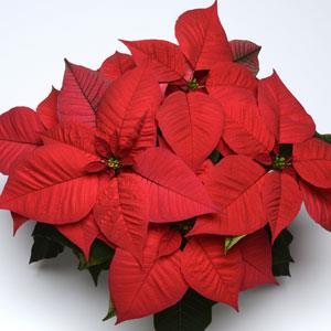 Christmas Glory Red Image