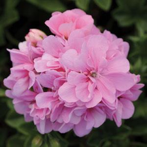 Royal Light Pink Image