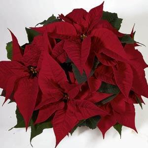 Christmas Feelings Merlot Image