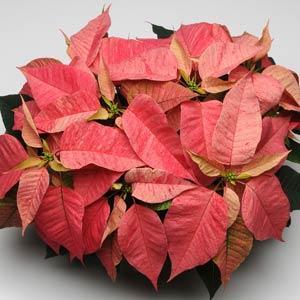 Christmas Feelings Red Cinnamon Image