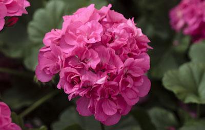 Calliope™ Large Pink Image