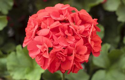 Calliope™ Medium Scarlet Image