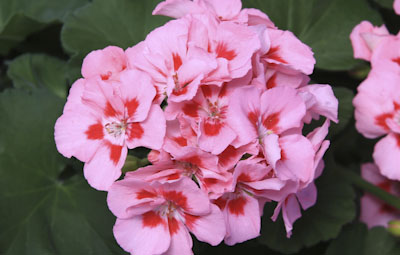 Calliope™ Medium Pink Flame Image