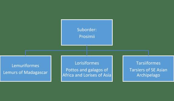 Prosimian classification