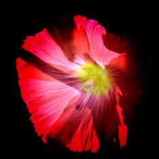 flowers on a black background 2 milnersblog