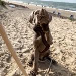 Unser Labmaraner Milow im Sand am Strand