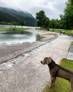 Unser pubertierender Labmaraner Milow am Achensee