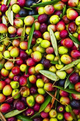 Arbequina oliivid