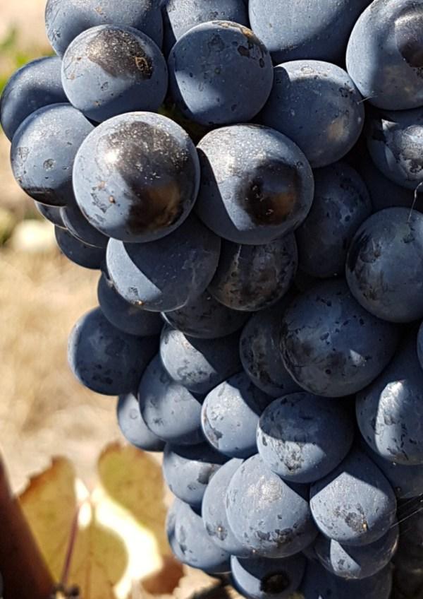 punane viinamari jaen