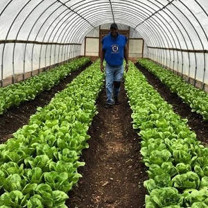 will-allen-walking-hoop-house-rows-romaine-lettuce-growing-power