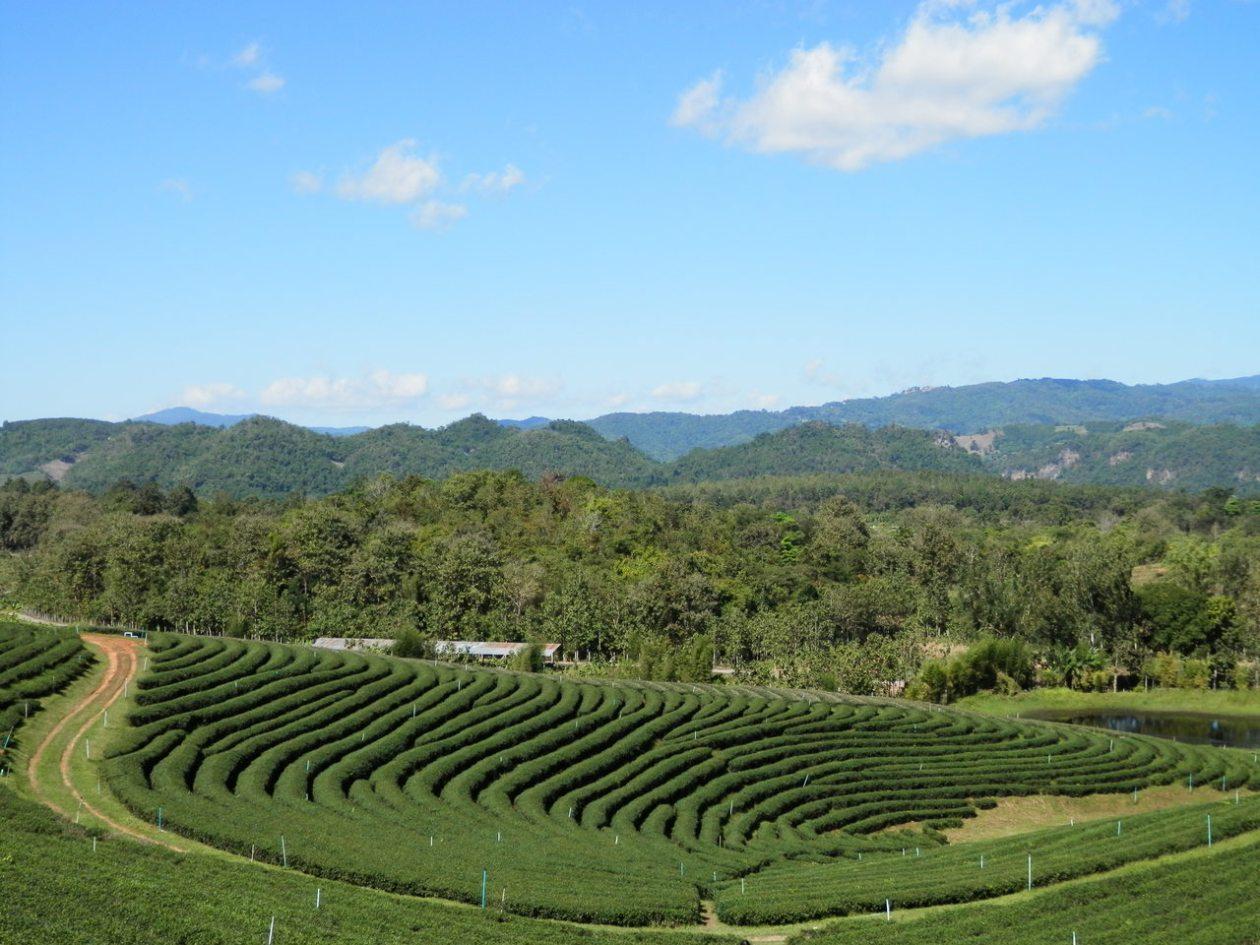 Plantación de té de Choui Fong