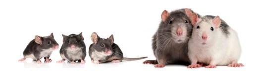 cuidados ratas y ratones