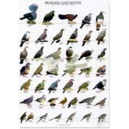 Clasificación aves Columbiformes