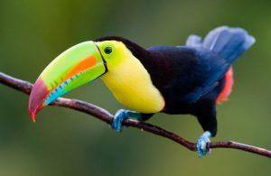 Clasificación aves Piciformes