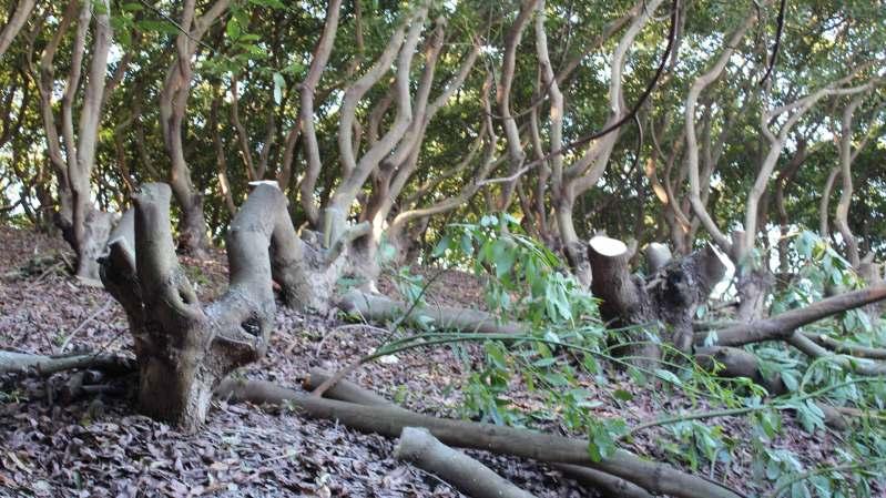 cut avocado branches