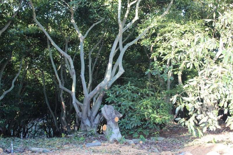 tall avocado tree