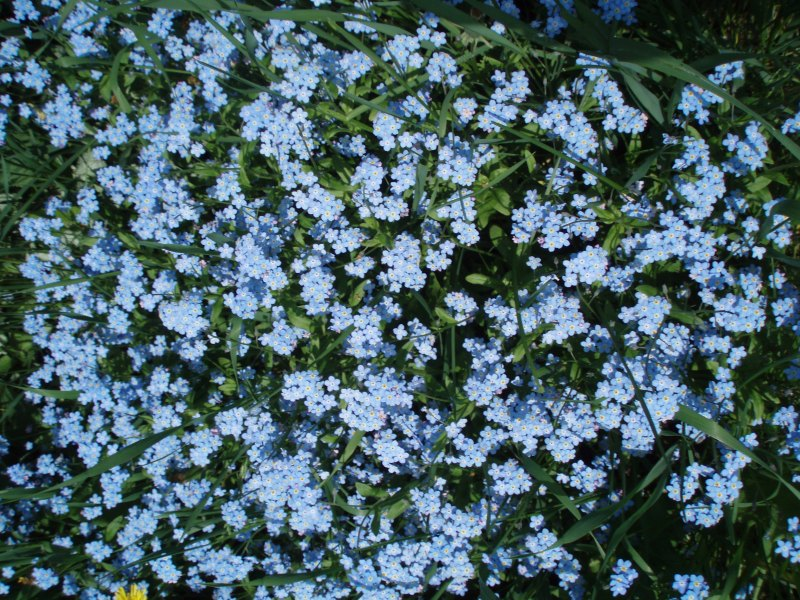 blue forgetmenots