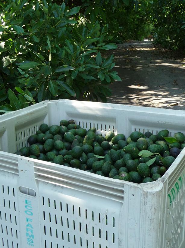 bin of avocados