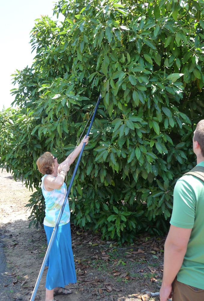 picking avocados