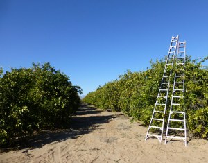 Citrus groves in Coachella Valley