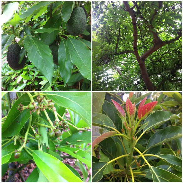 Avocado trees in June