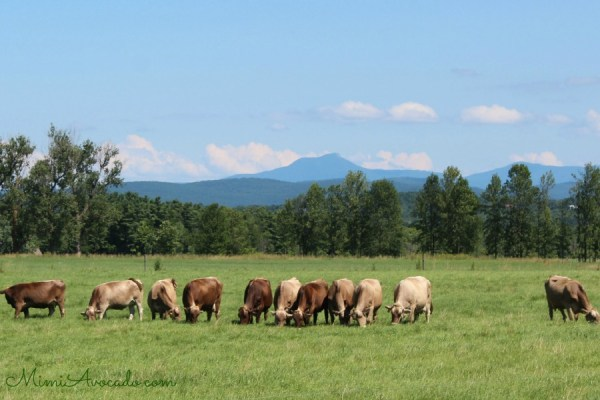 Cows and Camels Hump