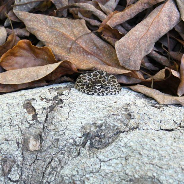babyrattlesnake