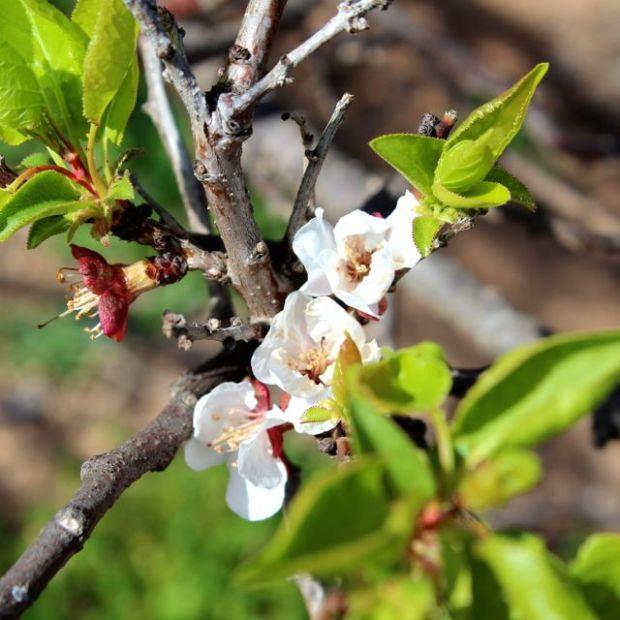 apricotblooms
