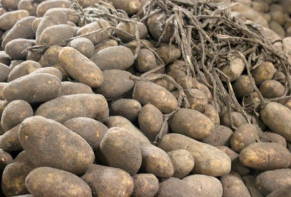 unwashed potatoes and vines