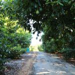 avocado grove in October
