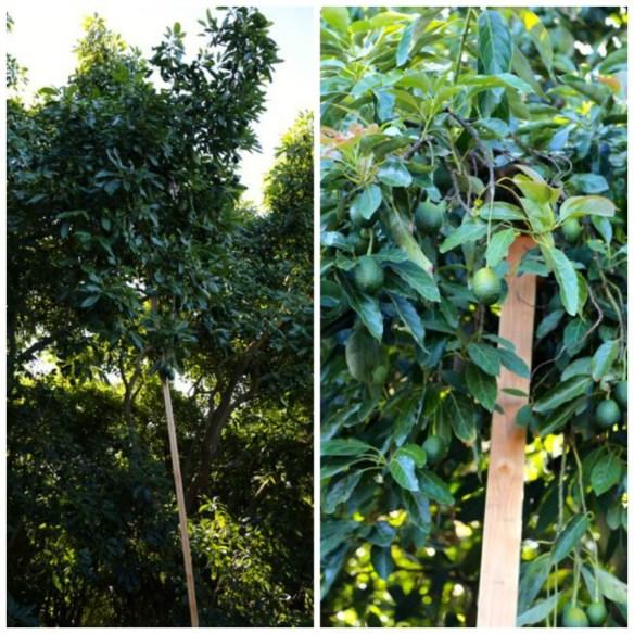 avocado tree supports
