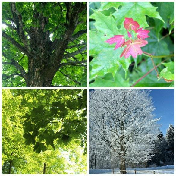 mpale trees