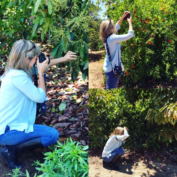 photographing avocado trees