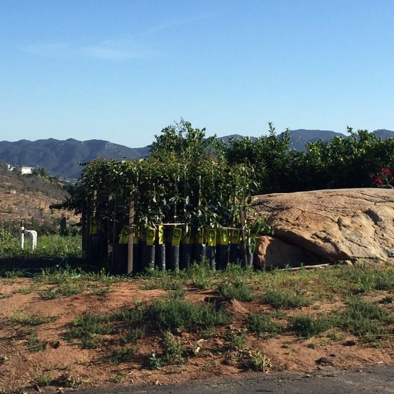 Baby avocado trees