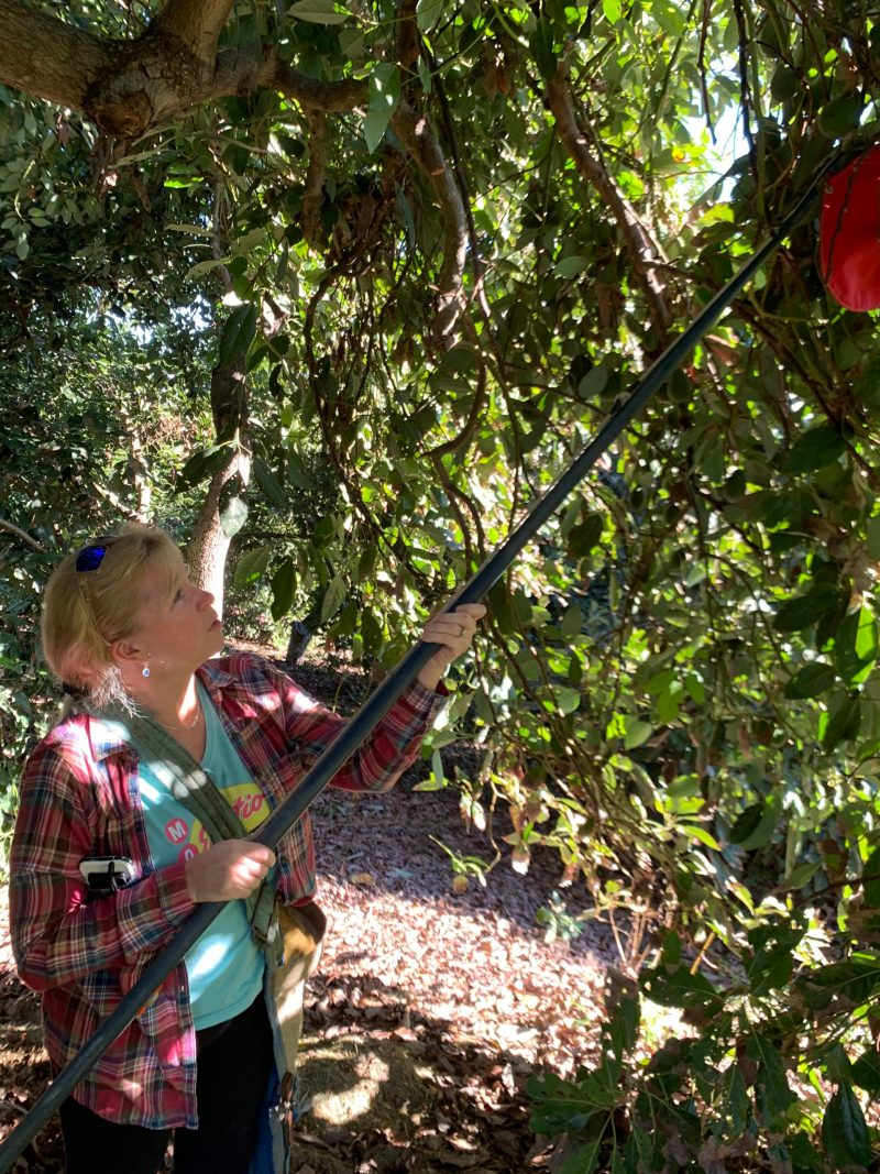 using a picking pole to harvest fruit high in the tree