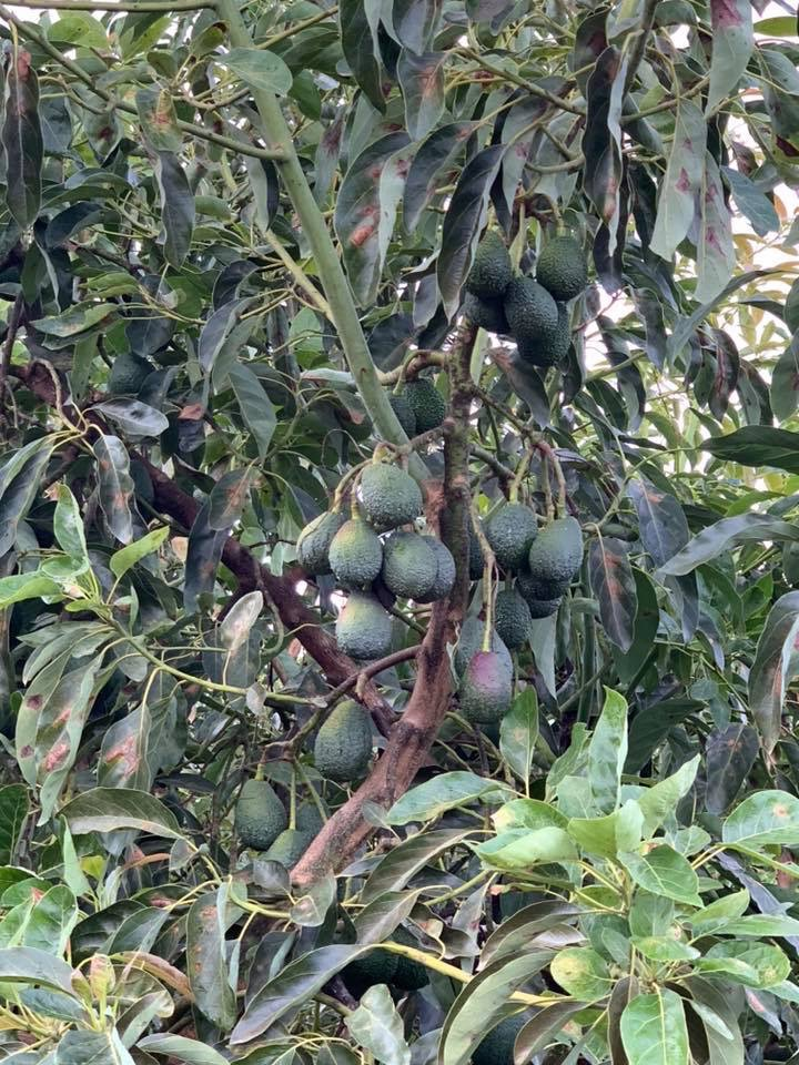 mature avocados