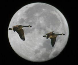 mimi berlin moon geese