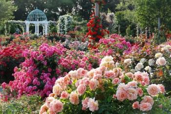 【東京賞花】京成玫瑰園(千葉縣八千代市):1600種,10000株玫瑰花,最浪漫花海