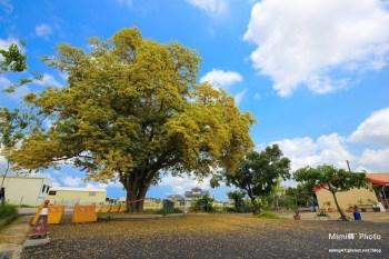 【台南景點】安南區.百年魚木:老樹大綻放下起黃金雨,金黃花朵爆炸開,卡緊帶相機來賞花吧~