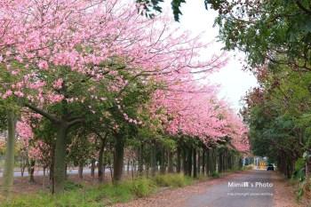 【雲林賞花景點】虎尾農博旁建成路:激似櫻花大道!! 原來美人樹盛開也可以很美~