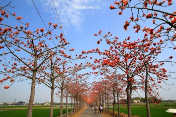 【台南.賞花】白河林初埤木棉道(3~4月):春天熱情如火的木棉花,燃燒了這兒整片的天空~