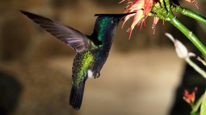 Our-Island-hummingbird