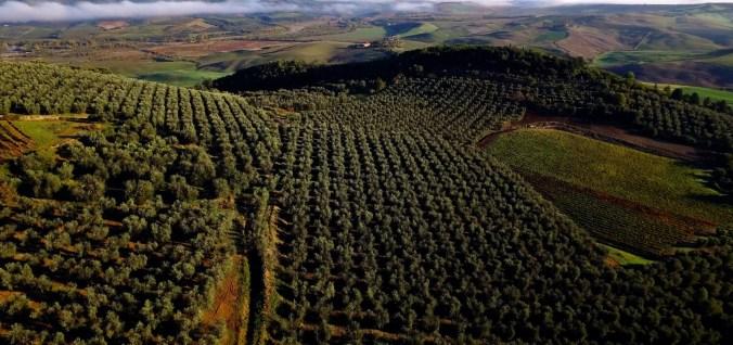 rolling olive hills