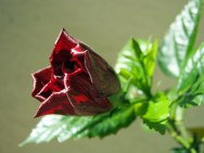 Kvitne mi na balkóne čínska ruža! :)