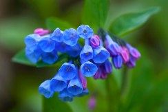 virginia-bluebells-1-2010