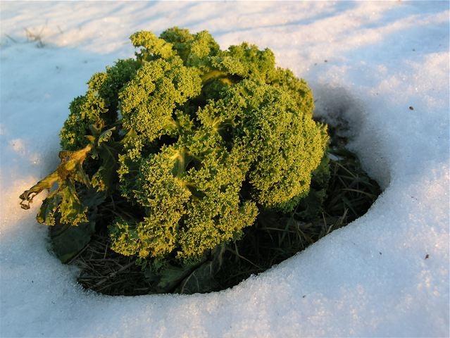 gronkal-vinter_mellan