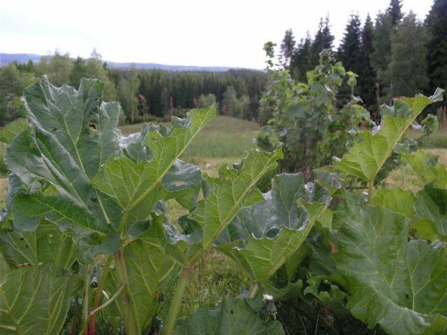 rabarber-köksträdgård2_mellan