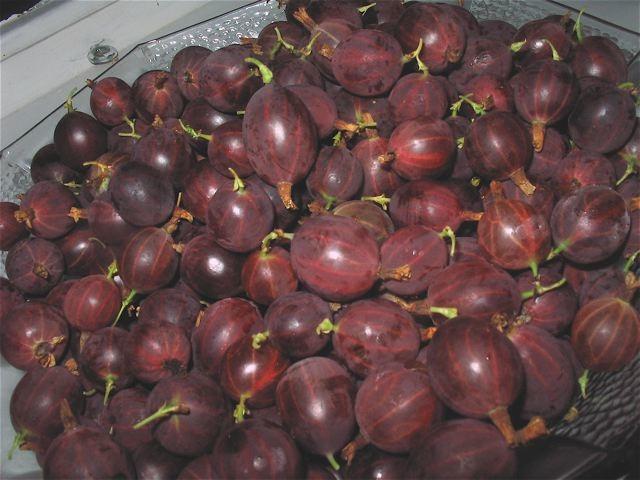 krusbär-skörd_mellan